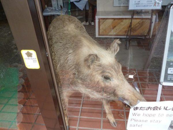 43.猪のはく製